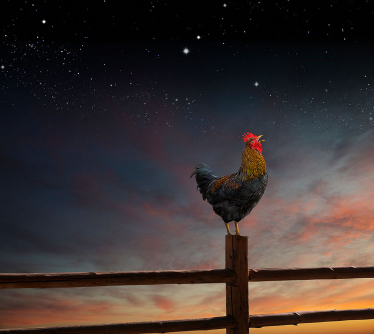 A Rooster Crowing A Dawn Stock Photo