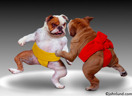 Sumo Dogs; Two Bull Dogs Wear the Sumo diaper and practice the Japanese sport of Sumo Wrestling.