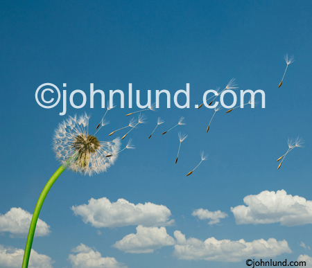 Dandelion Seeds Blowing Through The Summer Sky in a stock photo about wishes and the future.