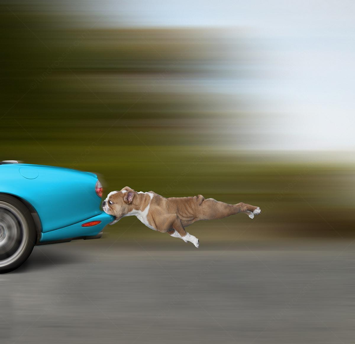 Funny_Bulldog_Biting_A_Car_Bumper