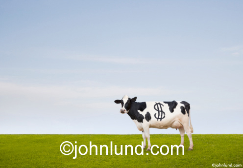 Cash Cow In A Green California Pasture