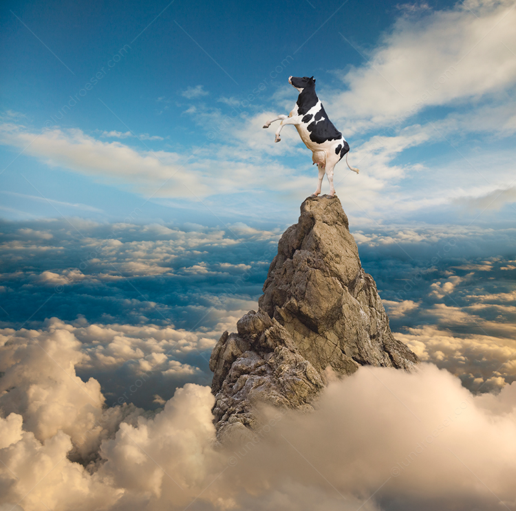 Funny Holstein Photo On A Mountain Peak