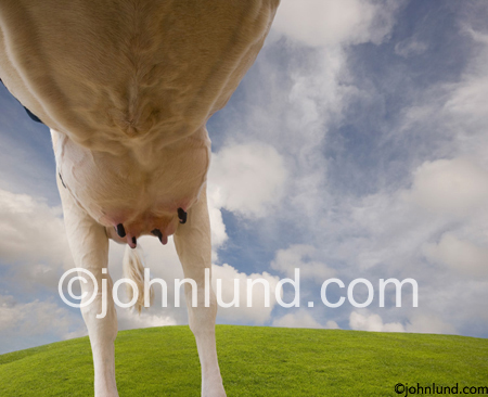 A Milk Cow's udder photographed from underneath for a most interesting view of a bovine body.