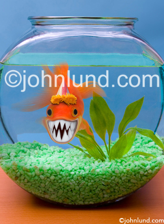 Fish bite; A Goldfish in a bowl flashes a huge set of sharp teeth with a very Piranha like grin.
