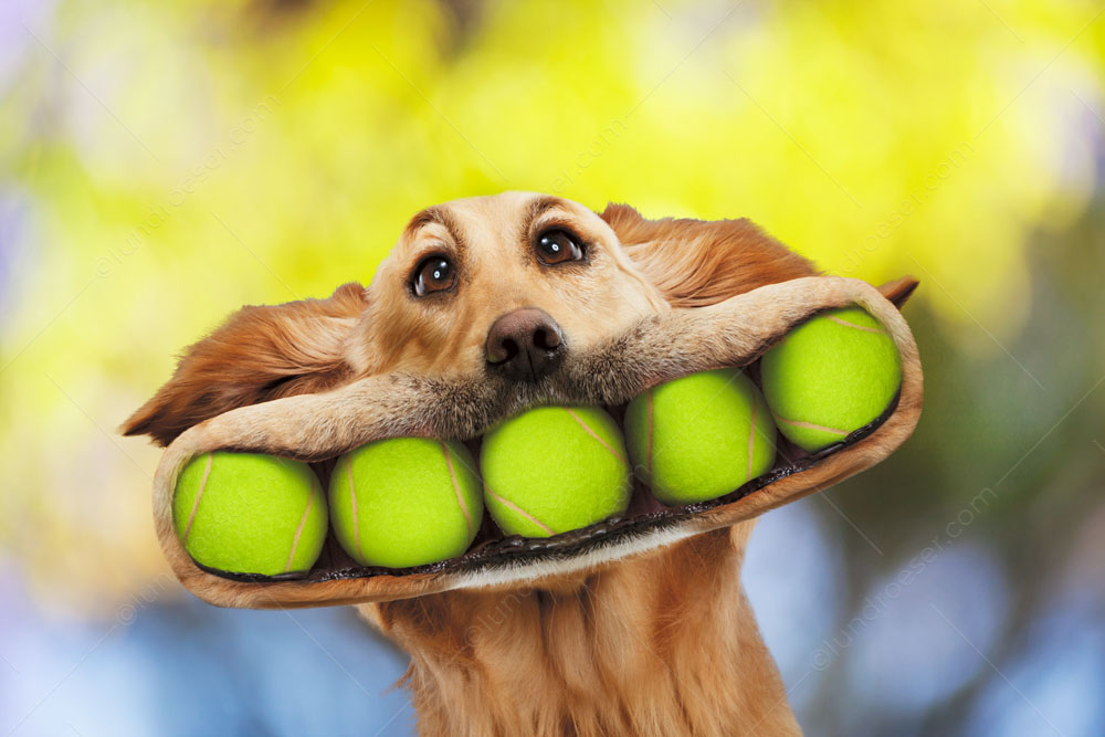 Funny_Golden_Retriever_with_A_Mouth_Full_of_Tennis_Balls_In_A_Funny_Greeting_Card