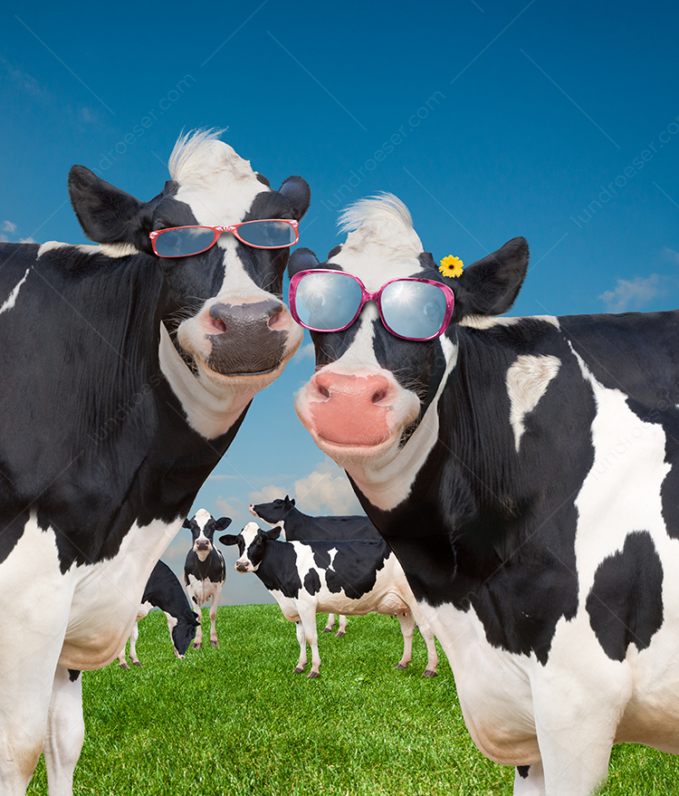 Happy Holstein Cows