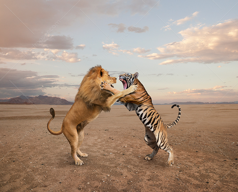 Lion And Tiger Fighting
