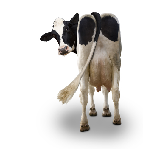 Milk This: Picture of A Holstein Dairy Cow
