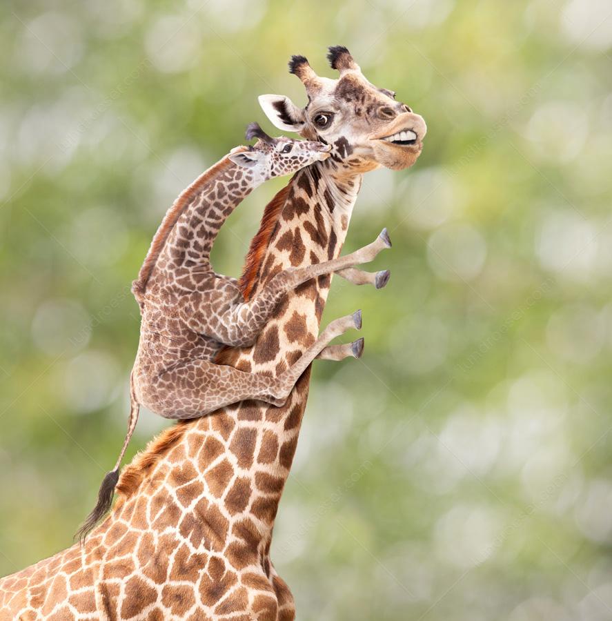 Mother_Giraffe_With_Offspring