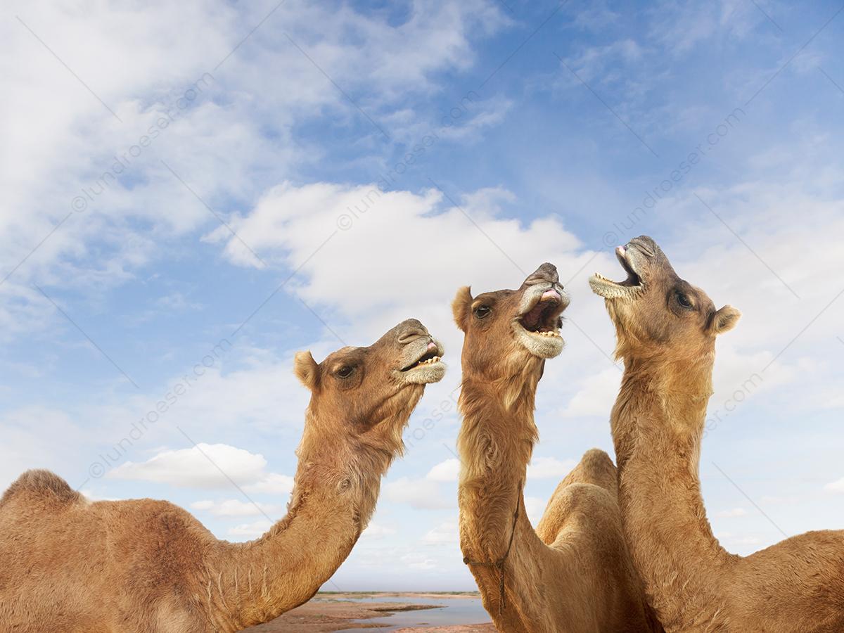 Dromedary_Camels_Singing_Together