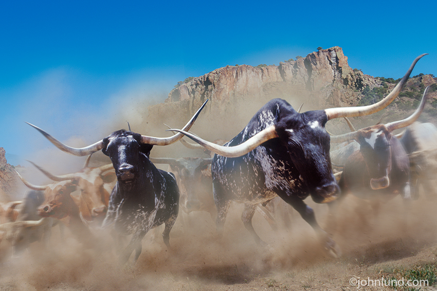 Stampeding Longhorn Cattle: A herd of longhorn steers, in a cloud of dust, head directly towards the viewer...look out!