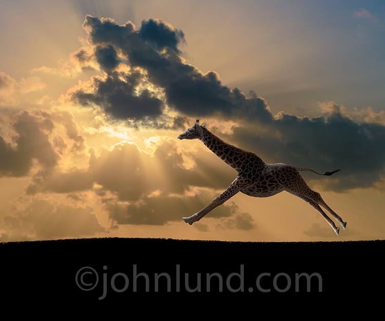 Galloping Giraffe At Sunset
