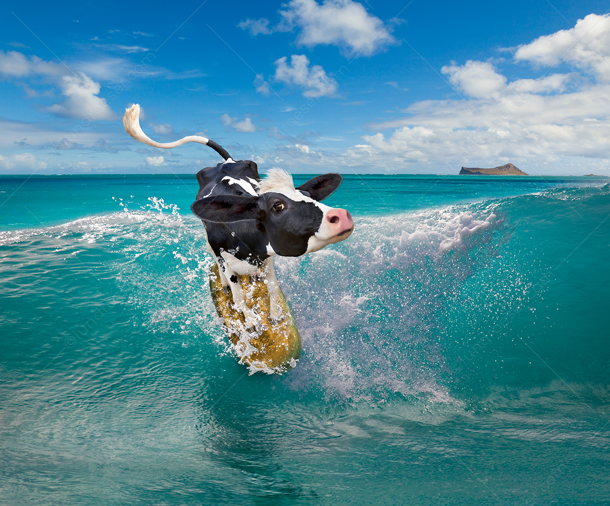 Funny_Cow_Surfing_Image