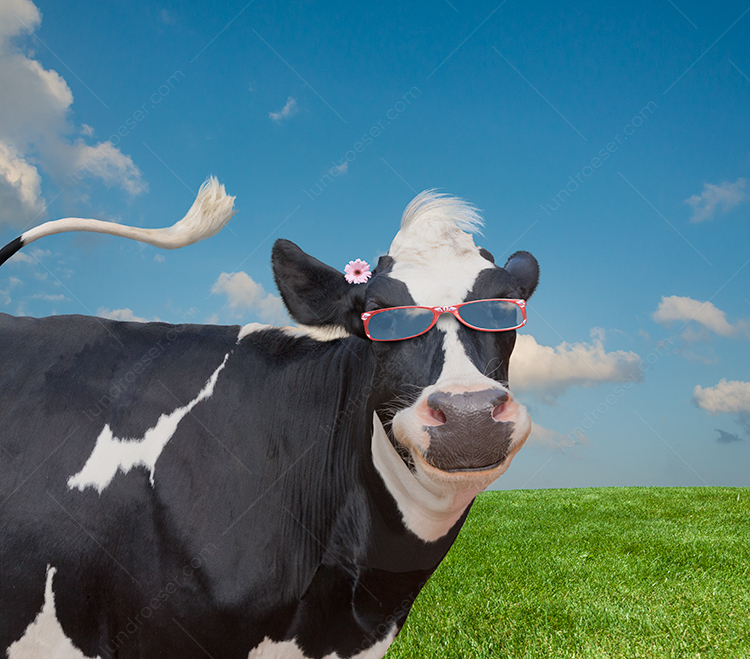 Funny Holstein Cow Portrait