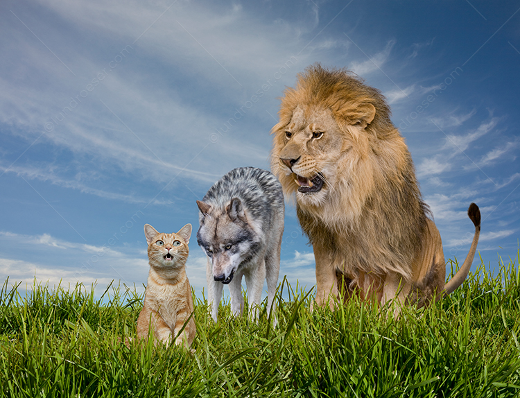 Lion, Wolf, Cat Food Chain Photo